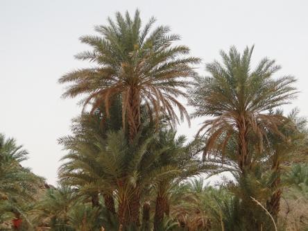 """Résultat de recherche d'images pour """"نخيل ولاية تكانت موريتانيا"""""""